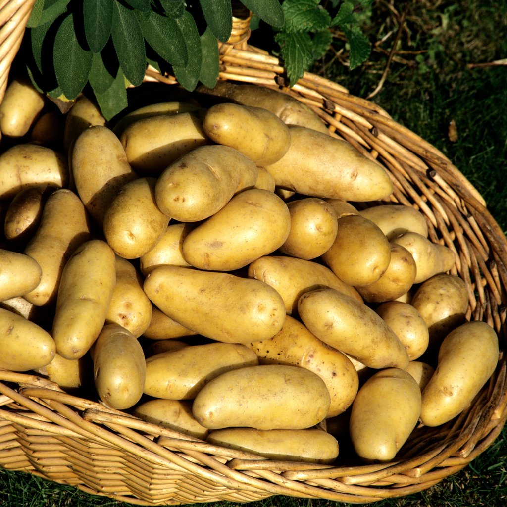 Pomme de terre semer et planter ooreka - Variete pomme de terre rouge ...