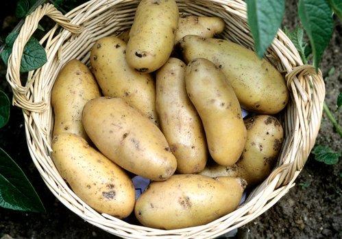 Pomme de terre semer et planter comprendrechoisir - Semer des pommes de terre ...