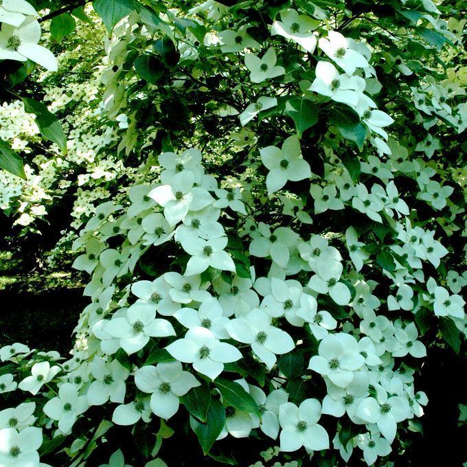 Variétés de grande taille à fleurs blanches Cornouiller du Japon (Cornus kousa ssp)