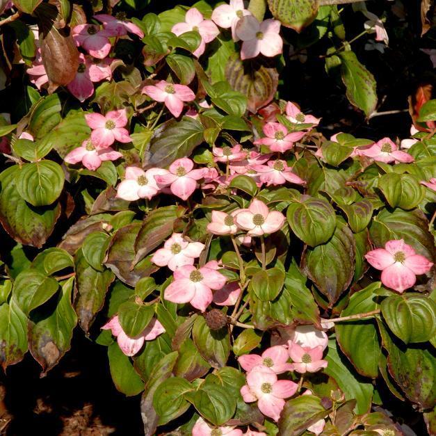 Variétés à fleurs colorées Cornus kousa 'Satomi'