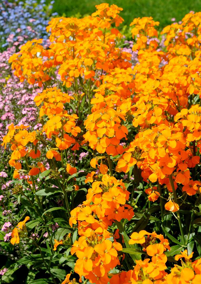 foto de Giroflée : planter et cultiver Ooreka