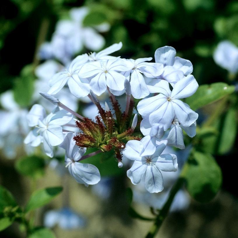 Arbuste Dentelaire du Cap (Plumbago auriculata)