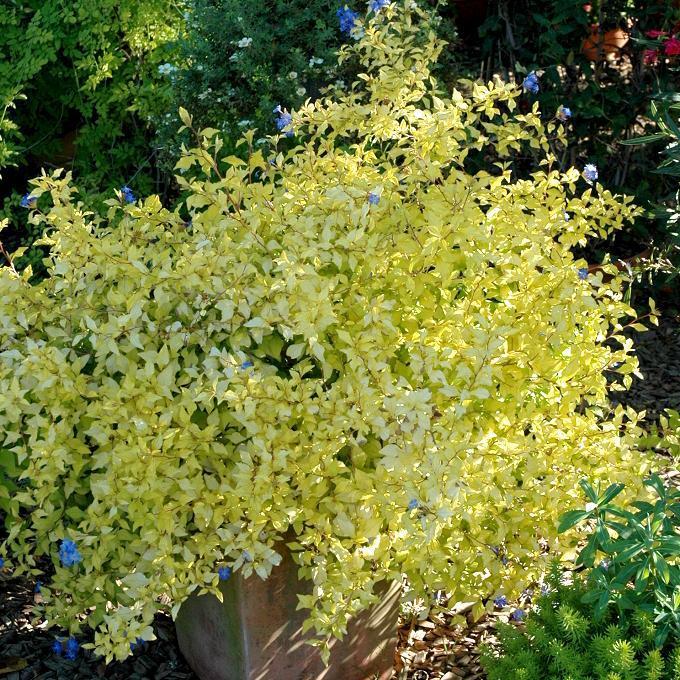 Vivace Plumbago de Willmot (Ceratostigma willmotianum)