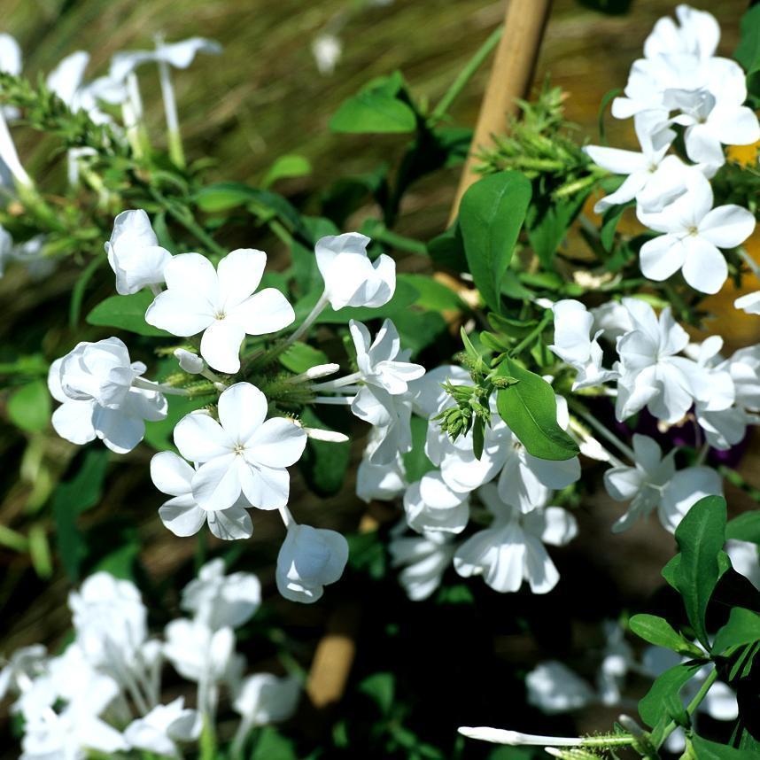 Arbuste Dentelaire du Cap blanche (Plumbago auriculata 'Alba')