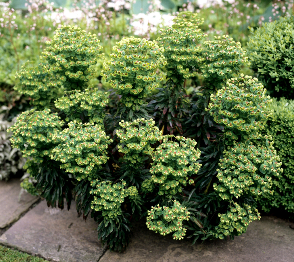 Euphorbe   planter et bouturer
