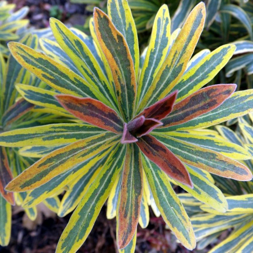 Variétés pour soleil et mi-ombre sols pauvres et secs ou frais pas trop calcaires Euphorbia x martinii 'Ascot Rainbow'