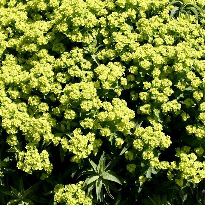 Variété de zones humides marécageuses Euphorbe des marais (Euphorbia palustris)