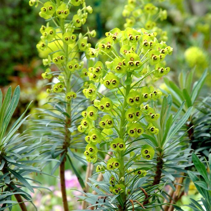 Variétés pour soleil et mi-ombre sols pauvres et secs ou frais pas trop calcaires Euphorbe des vallons (Euphorbia characias)