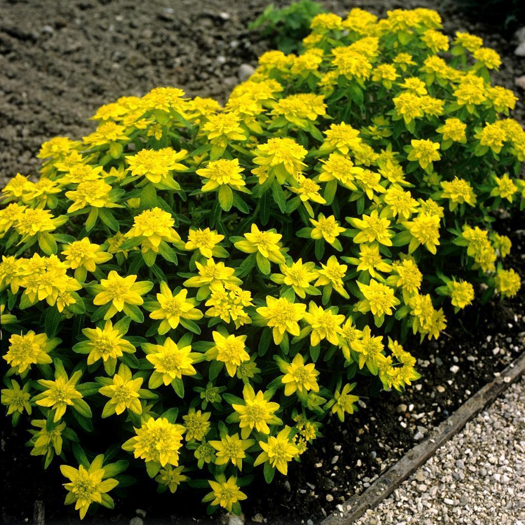 Variétés pour soleil et mi-ombre sols pauvres et secs ou frais pas trop calcaires Euphorbia polychroma 'Variegata'