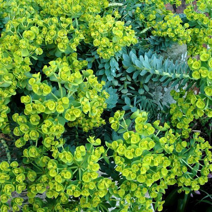 Variétés pour rocailles, murets, couvre-sol, au soleil Euphorbia myrsinites