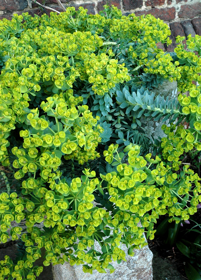 euphorbe planter et bouturer � ooreka