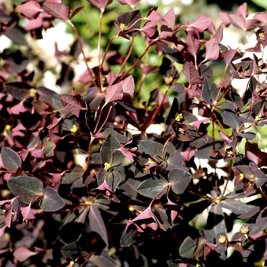 Variété d'ombre ou mi-ombre et sol sec Euphorbe douce (Euphorbia dulcis)