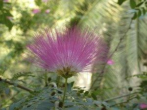 Semis et plantation de l'albizia