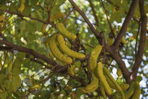 Semis et plantation du caroubier