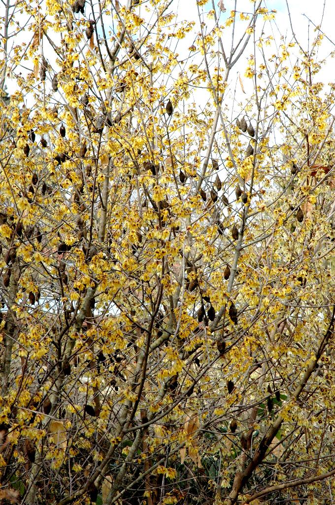 Chimonanthe planter et entretenir ooreka for Couvrir les plantes en hiver