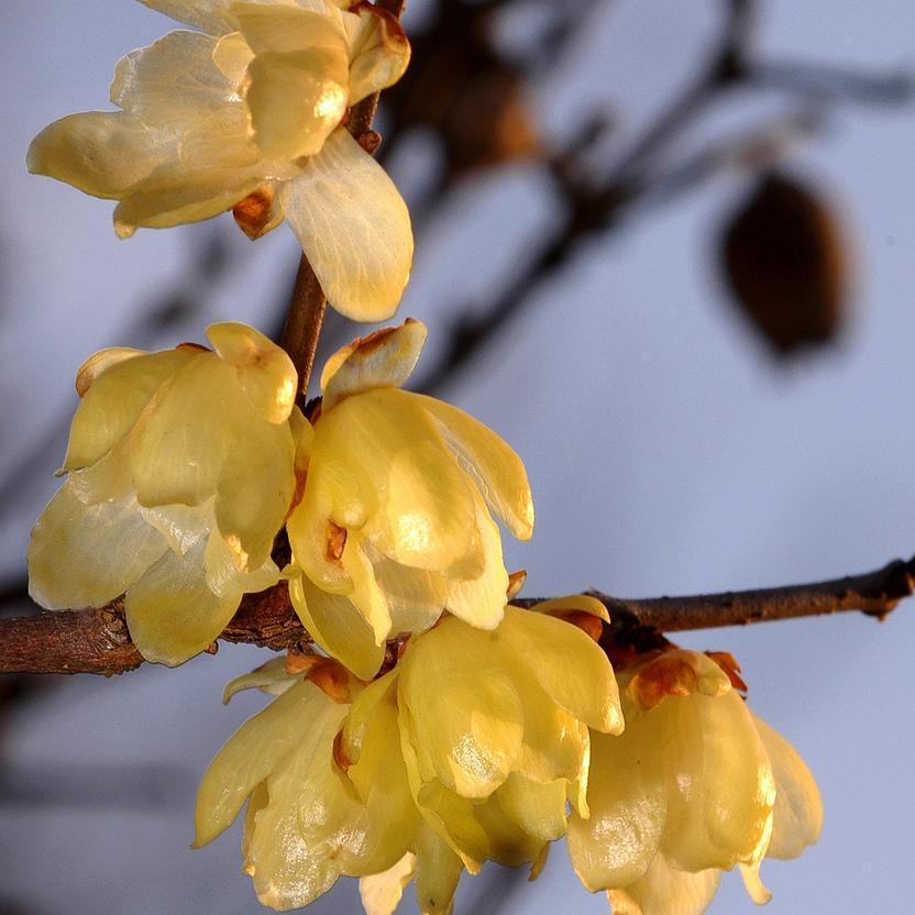 Chimonanthe précoce (Chimonanthus praecox, syn. Chimonanthus fragrans, Calycanthus praecox) 'Luteus' ou 'Concolor'