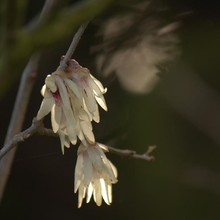 Autres espèces Chimonanthus zhejiangensiss