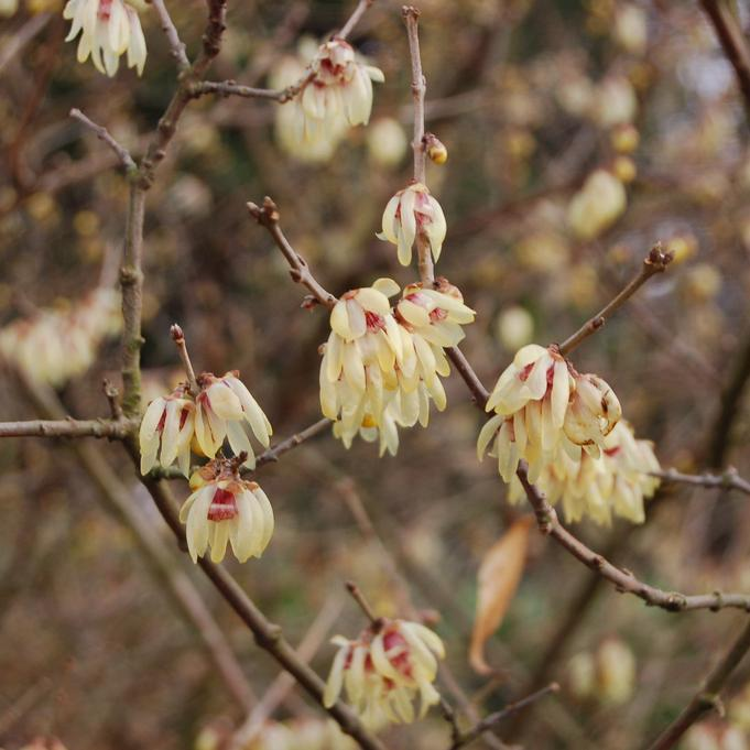 Chimonanthe précoce (Chimonanthus praecox, syn. Chimonanthus fragrans, Calycanthus praecox) 'Grandiflorus'