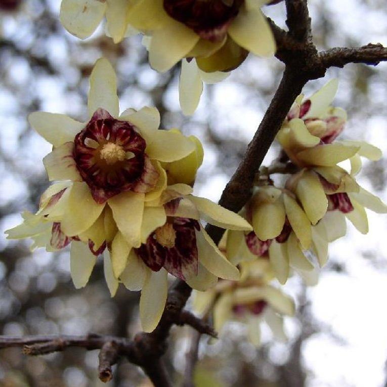 Chimonanthe précoce (Chimonanthus praecox, syn. Chimonanthus fragrans, Calycanthus praecox) 'Patens'