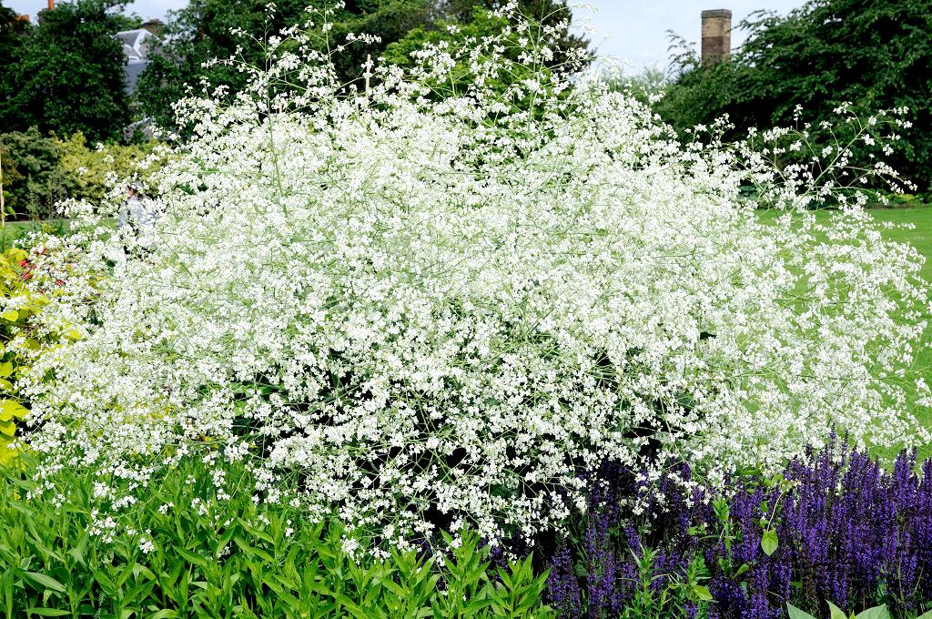 Crambe planter et cultiver ooreka for Chaine de coeur plante entretien