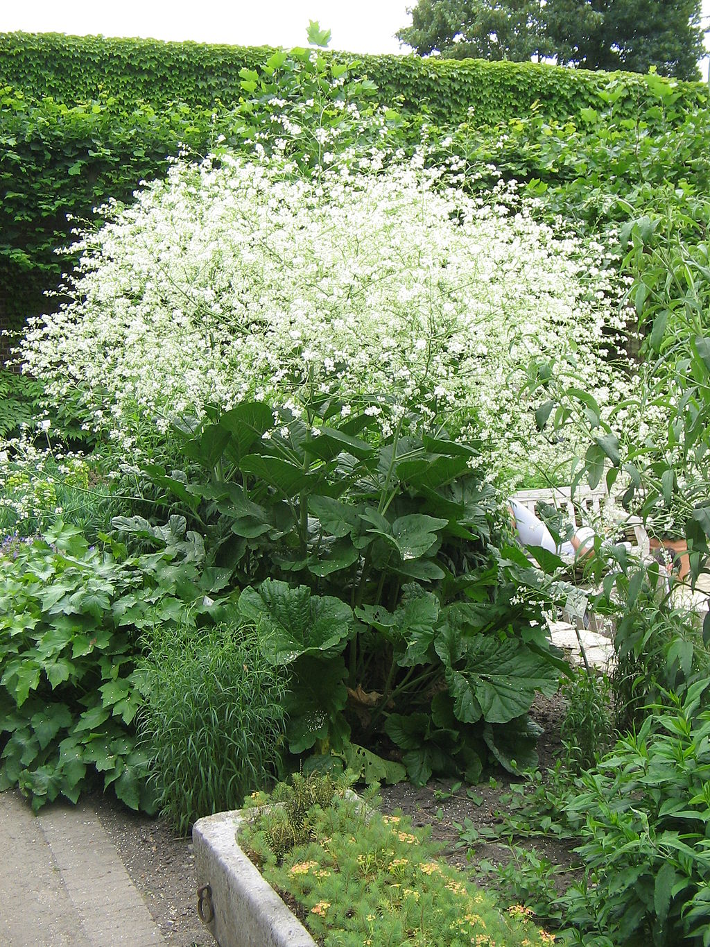 Crambe planter et cultiver ooreka for Plante zaatar