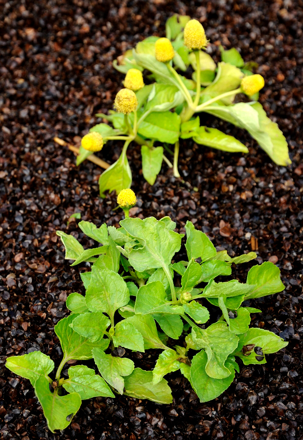 Cresson de para planter ou semer ooreka - Quand cueillir les potirons ...