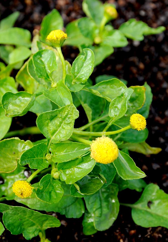 Cresson de para planter ou semer ooreka for Plante 150 maladies madagascar