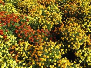 Semis et plantation de l'œillet d'Inde