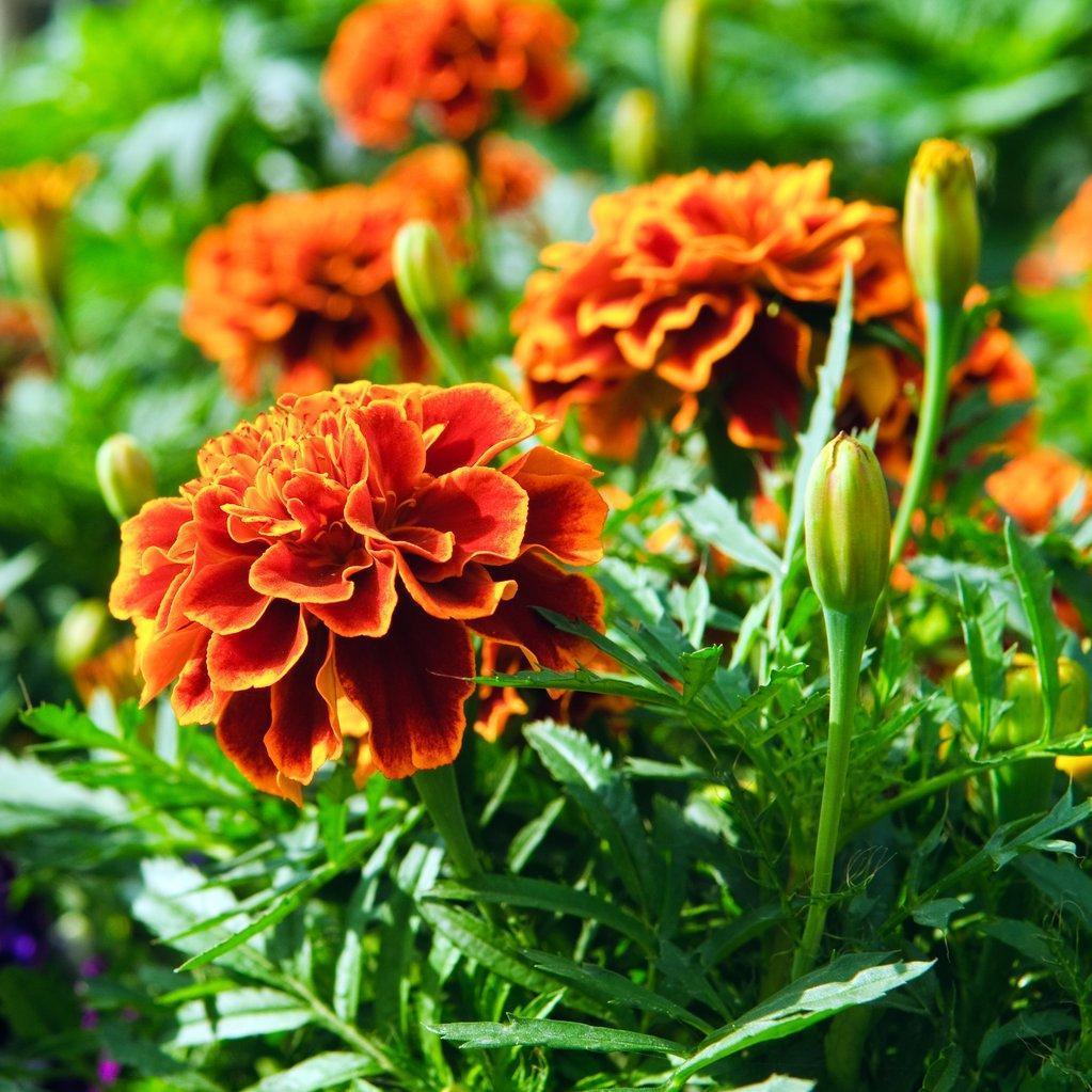 Œillets d'Inde à fleurs doubles 'Cordoba'