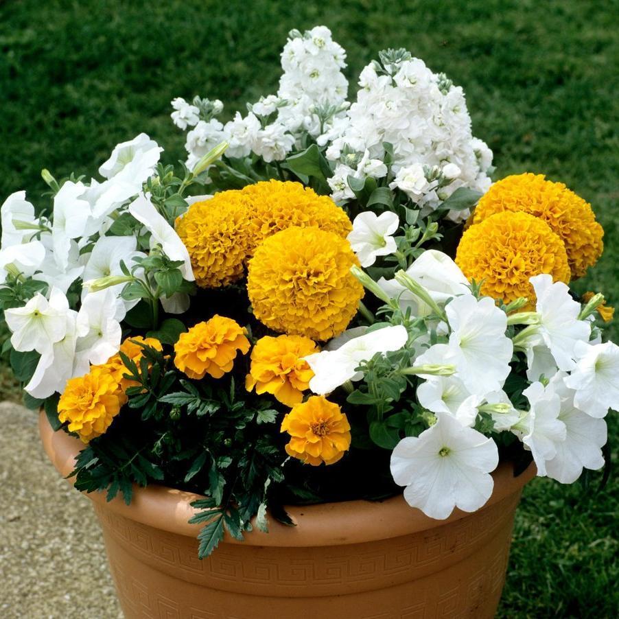 Œillets d'Inde à fleurs doubles 'Saferi tangerine'