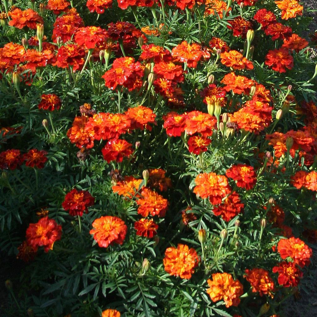 Œillets d'Inde à fleurs doubles 'Carmen'