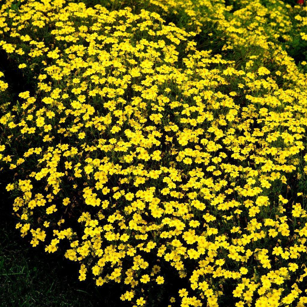 Œillet d'Inde à fleurs simples Œillet d'Inde miniature (Tagetes signata)