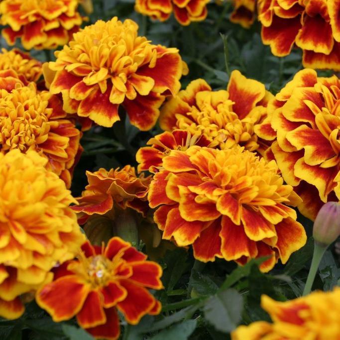 Œillets d'Inde à fleurs doubles 'Bonanza'