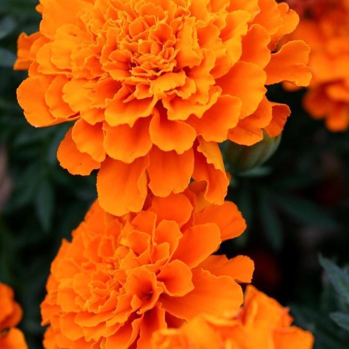 Œillets d'Inde à fleurs doubles 'Feria'