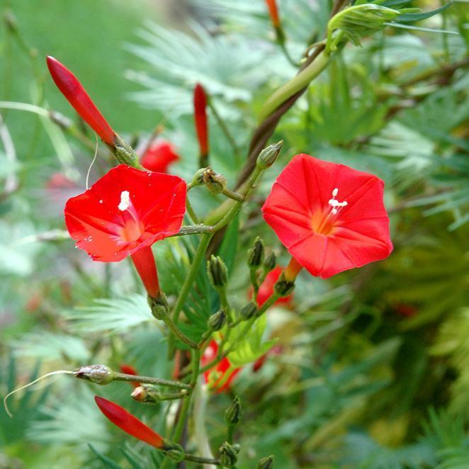 Ipomée à feuilles de lierre (Ipomœa hederacea)