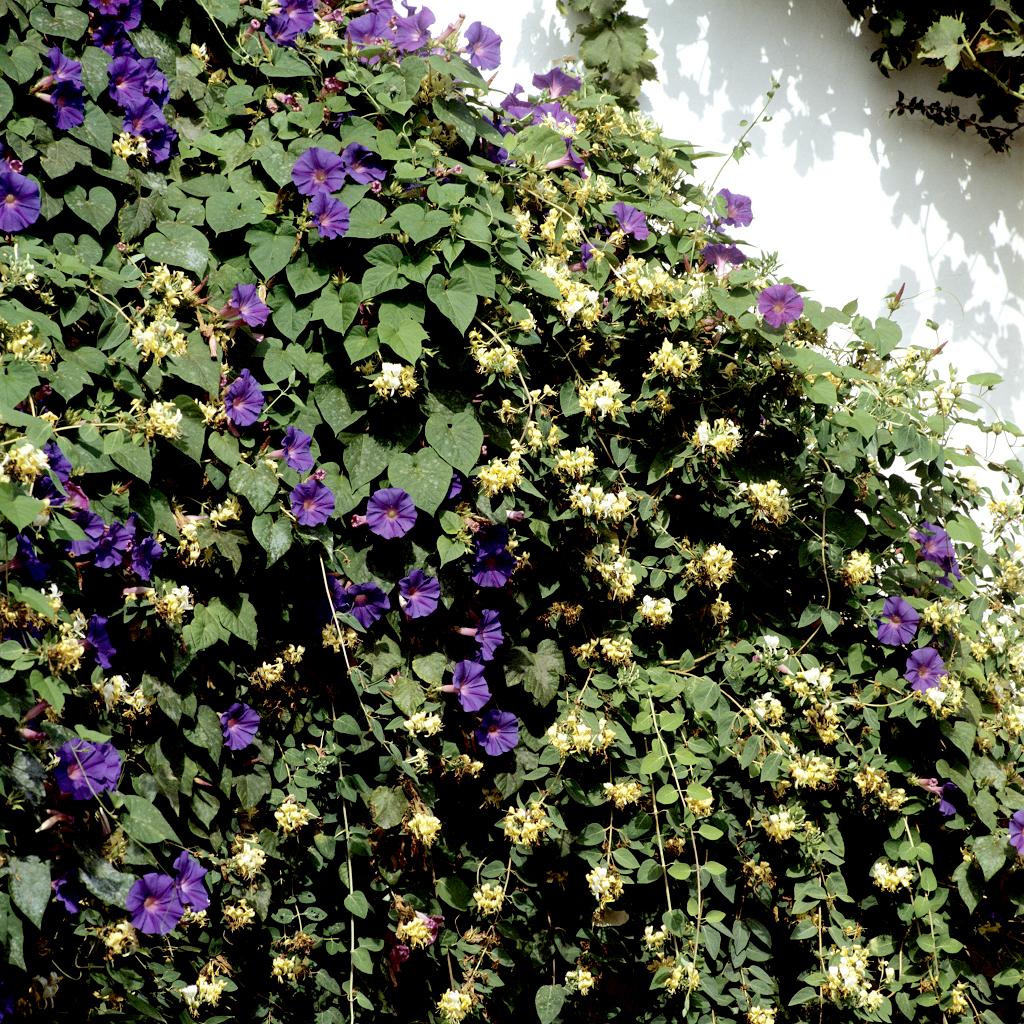 Volubilis des jardins (Ipomœa indica)