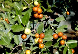 Semis et plantation du jujubier