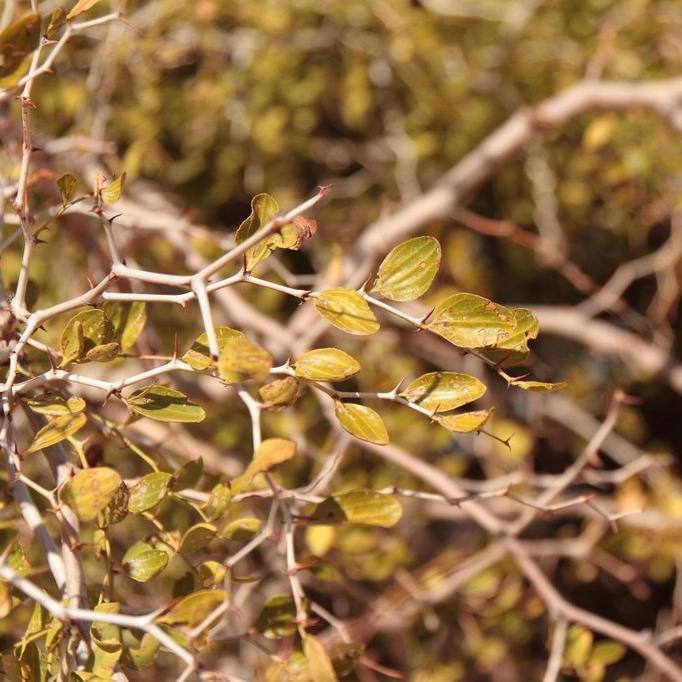 Autres espèces de Ziziphus Jujubier de Berbérie, jujubier des Lotophages, jujubier de Tunis (Ziziphus lotus, syn. Z. sylvestris, Z. parcifolia)