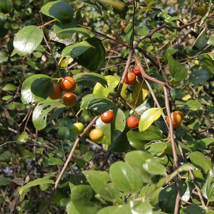 Autres espèces de Ziziphus Jujubier des iguanes (Ziziphus mauritiana)