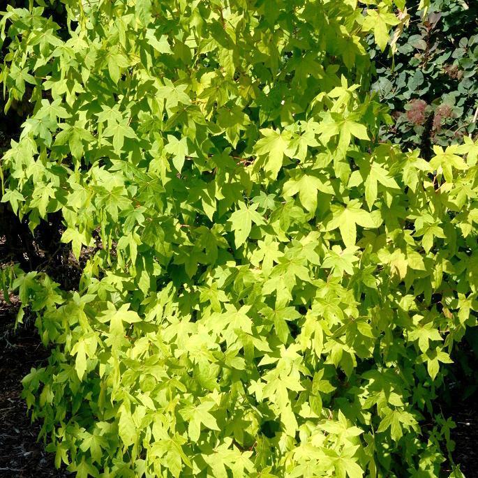 Cultivars atteignant 10m 'Golden Sun'
