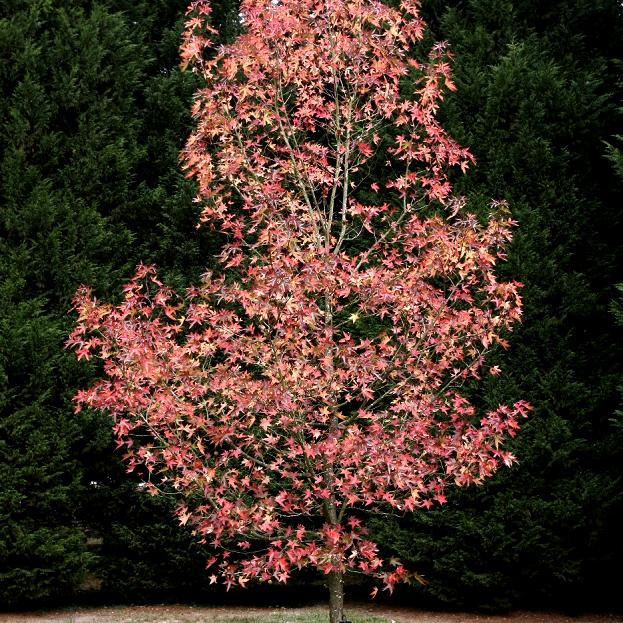 Cultivars atteignant 10m 'Woplesdom'