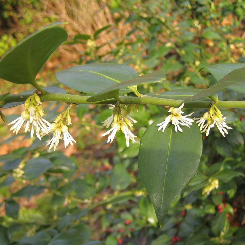 Sarcocoque à feuilles de ruscus (Sarcococca ruscifolia)