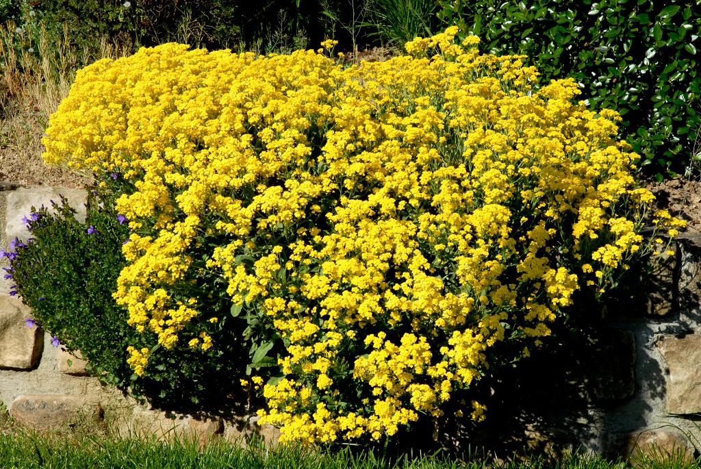 Alysse : planter et cultiver – Ooreka