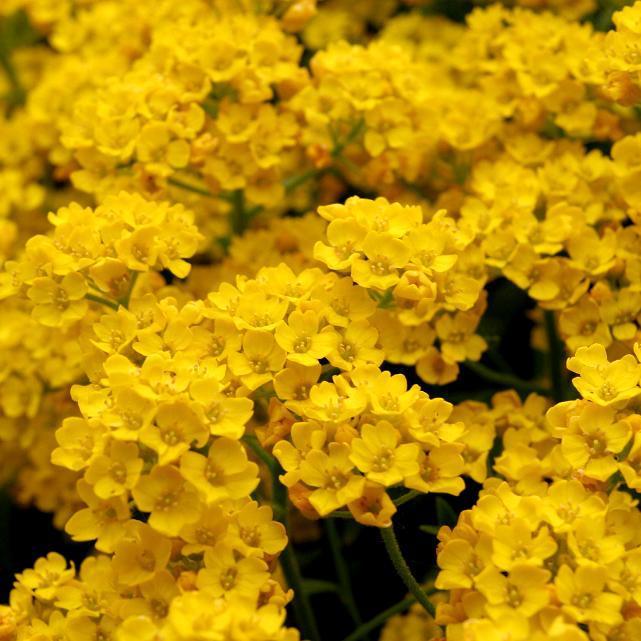 Alysse, Corbeille d'or (Alyssum saxatile) 'Compactum' (Alysse des rochers)