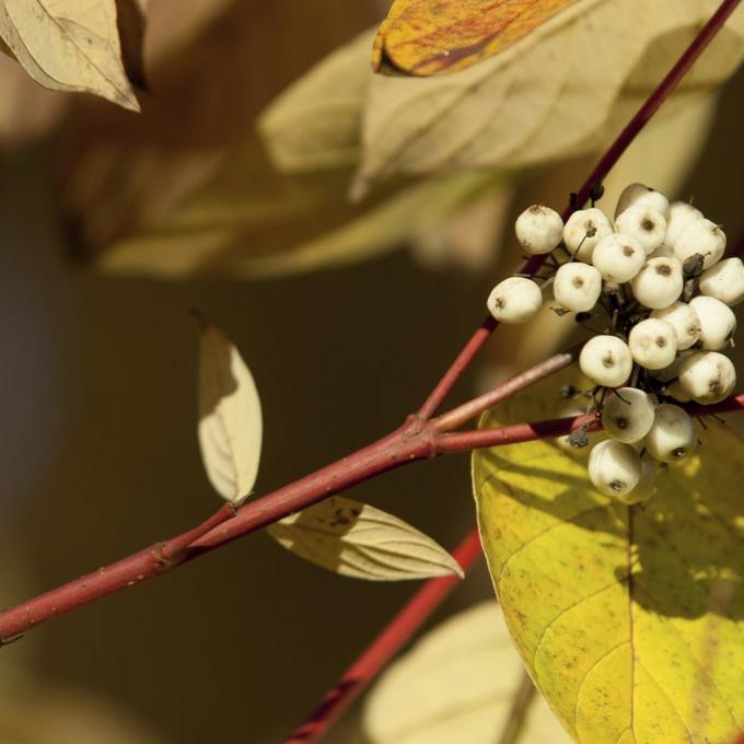 Espèces à port, feuillage, rameaux ou fruits décoratifs Cornouiller blanc (Cornus alba 'Sibirica Variegata')
