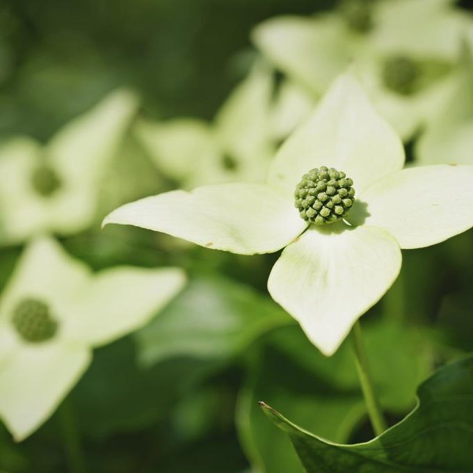 Espèces à fleurs Cornouiller de Chine (Cornus kousa var. chinensis)