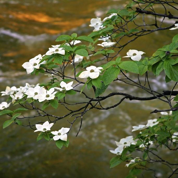 Espèces à fleurs Cornouiller du Pacifique (Cornus nuttallii)