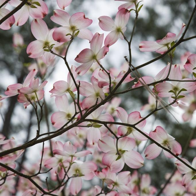 Espèces à fleurs Cornouiller à fleurs (Cornus florida)