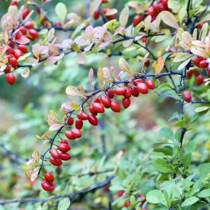 Espèces à port, feuillage, rameaux ou fruits décoratifs Cornouiller mâle (Cornus mas)