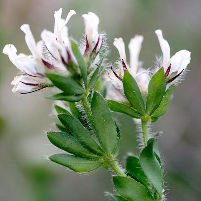 Bonjéanie hérissée, dorycnie hirsute (Dorycnium hirsutum, syn Bonjeania hirsuta, Lotus hirsutus, Dorycnium sericeum) Espèce type